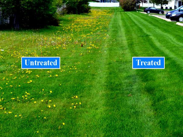 Broadleaf Weed Control Before And After Treated
